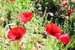 Solar poppies stock image