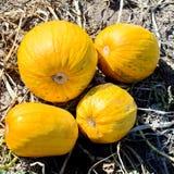 Solar pumpkins. Stock Images