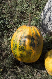 Solar pumpkins. Stock Photography