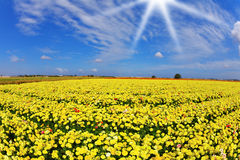 Solar spring day in fields buttercups Royalty Free Stock Photography