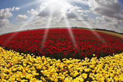 Free Solar Spring Day In Flowers Buttercups Royalty Free Stock Image - 12261736