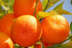 Solar tangerines Royalty Free Stock Image