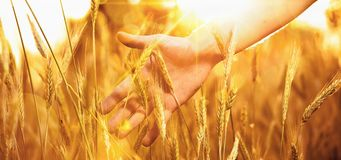 Solar wheat Stock Photography
