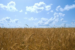 Solar wheaten field. Gold ears and blue sky Royalty Free Stock Photography