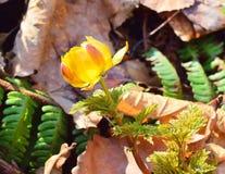 Solarblume Adonis-Nahaufnahme Lizenzfreie Stockfotos