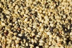 Solariums crus de grains de café Images stock