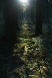 Solarlichtstrahl im Morgenwald Stockfotos