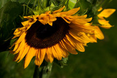Solarsystem. Portrait of a sunflower. Macro photography of nature Stock Photography