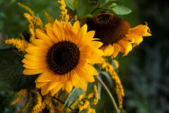 Solarsystem. Sunflower in the autumn garden. Photography of nature Royalty Free Stock Photos