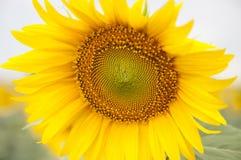 Solas flores del amarillo de la estación de verano de la naturaleza del girasol Fotos de archivo