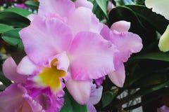 Solas flores rosadas de la orquídea con la hoja verde Fotos de archivo