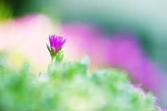 Solas flores violetas Fotografía de archivo
