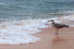 Solas gaviotas grandes atractivas en la playa contra ondas Imagen de archivo