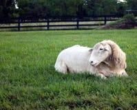 Solas ovejas Fotografía de archivo libre de regalías