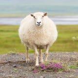 Solas ovejas islandesas Foto de archivo
