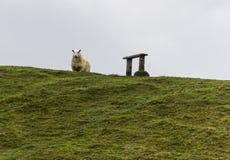 Solas ovejas que se colocan en una colina verde al lado de un banco Imágenes de archivo libres de regalías