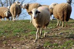 Solas ovejas que van lejos de multitud y hacia cámara Fotos de archivo
