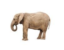 Solated adult elephant Stock Photos