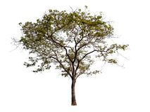 Solated beautiful green tree stock image