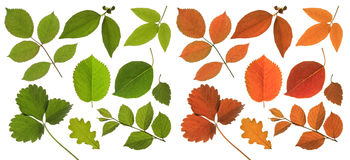 Solated green and red leaf Stock Image