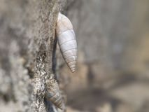 Solatopupa juliana, воздушно-реактивные улитки земли, земные pulmonate gastropod наяды Ch стоковые фотографии rf