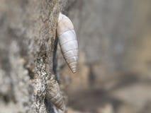 Solatopupa juliana, air-breathing land snails, terrestrial pulmonate gastropod mollusks. Chondrinidae. It has a long. Solatopupa juliana, air-breathing land royalty free stock photos