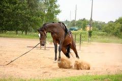 Solavanco letão brincalhão do cavalo da raça de Brown e tentativa obter livrado Fotos de Stock