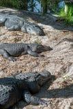 Solbada för tre kyla alligatorer Royaltyfri Bild