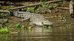 Solbada krokodilen Arkivbild