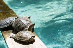 Solbada sköldpaddor royaltyfria bilder