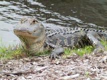Solbada tillsammans med en alligator arkivfoton