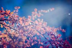 Solbelyst barberry i bakgrund för blå himmel Royaltyfria Bilder