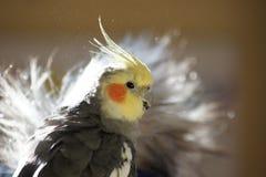 Solbelyst cockatiel Arkivfoto