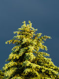 Solbelyst evergreen mot mörk himmel royaltyfri fotografi