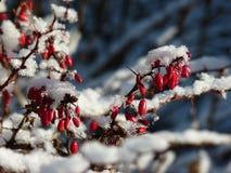 Solbelyst filial av barberryberberisen som täckas med första snö Fotografering för Bildbyråer