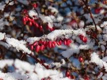 Solbelyst filial av barberryberberisen som täckas med första snö Royaltyfri Foto