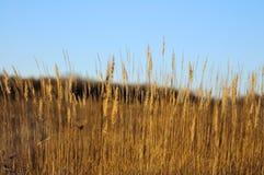 Solbelyst fjädergräs Arkivfoton