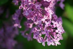 Solbelyst purpurfärgad lila Arkivbild