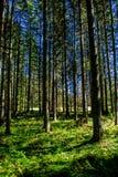 Solbelyst skog i Österrike Arkivbilder