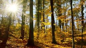 Solbelyst skog med fallande höstsidor arkivfilmer