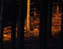 Solbelyst skog på solnedgången Royaltyfri Bild
