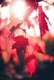 Solbelysta Autumn Leaves Arkivbild