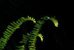 Solbelysta gröna ormbunkeormbunksblad mot en mjuk svart bakgrund royaltyfria bilder