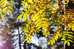 Solbelysta gula rönnsidor på skogbakgrunden royaltyfri fotografi