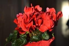 Solbelysta röda Citromen blommor stänger sig inomhus upp arkivbilder