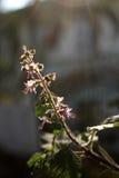 Solbelysta thailändska Basil Flower Royaltyfria Bilder