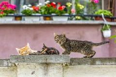 Solbelysta tillfälliga kattungar som sover på ett konkret staket royaltyfria bilder
