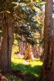 Solbelysta träd i en skog Royaltyfri Foto