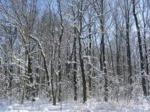 Solbelysta träd som täckas med snö och Royaltyfri Bild