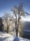 Solbelysta Willow Trees i snön nära ett damm royaltyfria foton